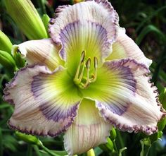 Daylily, Hemerocallis 'Temptation Eyes' (Wilkerson, 2008)