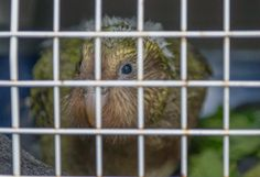 HeatherOne, a baby kākāpō chick, flew to Invercargill with us today to join 2 other chicks at the Department of Conservation's kākāpō rearing unit. New Zealand Wildlife, Conservation, Join, The Unit, Baby, Animals, Animales, Animaux, Animal