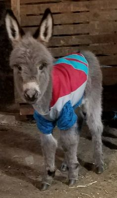 Connie Iseli Kissell ~ This is our baby mini donkey Banjo born 02-06-2018