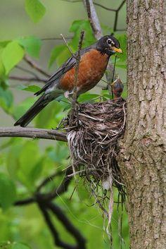 ✿campestre - American Robin Nest