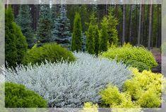 Salix nitida (creeping willow)