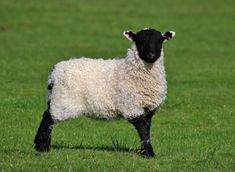 Looking after pet sheep is quite difficult! Here are the things you need to do to take care of your sheep. Guinea Pig Care, Guinea Pigs, Farm Animals, Cute Animals, Suffolk Sheep, Poultry Cage, Pet Sheep, Goat Care, Sheep Breeds