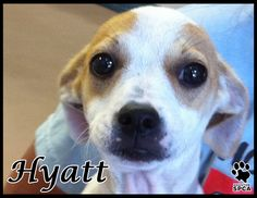 Hi, I'm Hyatt and I'm just a pup, literally I'm a 4-month old Chi mix puppy looking for a home. I'm very sweet little girl and I'm ready to learn and please. I love being around people and I'm super friendly. I hope you will come to the Houston SPCA and choose the adoption option today and take me home! www.houstonspca.org