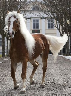 This beautiful horse is a Haflinger