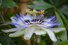 Passiflora by FerryTjan