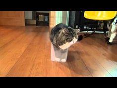 小さい箱にどうしても入りたいお太りのネコが、ついに入れた時のドヤ顔 | BUZZmag