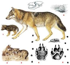 canis lupus - Google Search