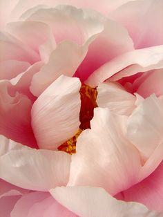 Herb Gardens Simple Tips Big Flowers, Flowers Nature, Amazing Flowers, Beautiful Flowers, Macro Flower, Flower Art, Herb Garden Design, Guache, Pink Peonies