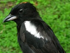 White-Shouldered Tanager, Costa Rica. Migration Research Foundation