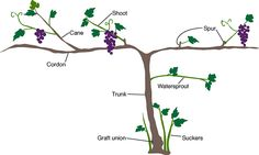 Graphic showing anatomy of a grape vine