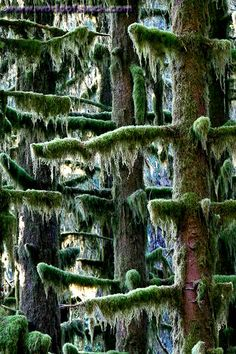 Ladders of Moss, Hoh Rainforest Olympic National Park, WA