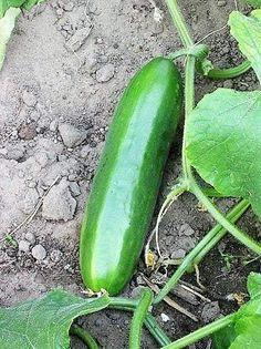 Long green improved heirloom cucumber