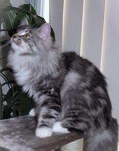 Gray Siberian Cat | Cat Breed Photos - Norwegian Forest Cat Pictures