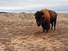 Caprock Canyon Park Goodnight Texas Bison