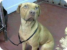 7/28/16 ACT QUICKLY OUT OF TIME PLEASE SHARE NOW  Atlanta, GA - Pit Bull Terrier Mix. Meet LULU, a dog for adoption. http://www.adoptapet.com/pet/16231813-atlanta-georgia-pit-bull-terrier-mix