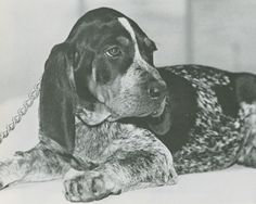 Tennessee Volunteers mascot, Smokey V (1980-1983). The nephew of Smokey IV, he became mascot at 12 weeks old and would outgrow five jackets in one season. Sadly, his reign would come to an end when he was hit by a car. Seen here as a puppy (ca. 1980).