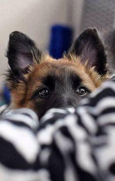 German Shepherd staredown
