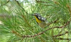 Yellow-throated Warbler in South Carolina