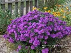 Aster purple dome...planting this weekend!