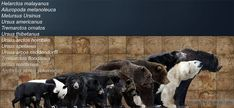 kodiak bear size comparison - Google Search