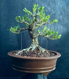 Buxus Boxwood Bonsai, Bonsai Trees, Plant Pots, Potted Plants, Buxus Sempervirens, Mame Bonsai, Pond, Pottery, Gardening