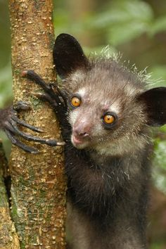 The Aye-Aye of Madagascar. Critically endangered. This nocturnal lemur forages the canopy at night looking for incsects. It's third long, thin finger is used for tapping on tree bark, listening for the slightest variations of sounds in attempt to find hiding incsects. It's sharp teeth create a hole in the bark, then using its forth and longest finger, scoops out its prey to eat.