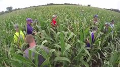 Farmers helping farmers: ‪#Kansas producers participate in on-farm agronomy research to help improve crop yields. #crops #KSRE #KState