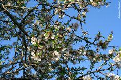 Almond tree in bloom, Avola
