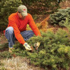 Prune Evergreens Lightly - Bush Pruning Tips for Healthier Bushes: http://www.familyhandyman.com/landscaping/bush-pruning-tips-for-healthier-bushes#6