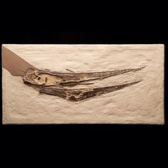 Pterosaur fossils are very rare.Pteranodon was one of the largest species of pterosaurs, and had a wingspan of up to 20 feet (6 meters). This 85 million-year-old fossil was found in the Niobara Formation in Kansas. Here we see Pteranodon's head, toothless jaws, and the beginning of of its long, backward-pointing crest (missing) in the upper left corner.