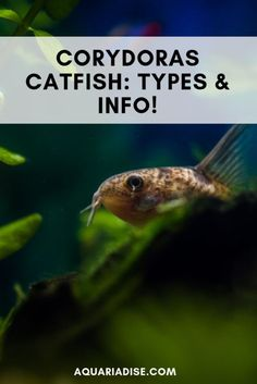 Find out how to care for the ever-cheerful Corydoras catfish! Find out how to care for the ever-cheerful Corydoras catfish! Tropical Fish Aquarium, Freshwater Aquarium Fish, Saltwater Aquarium, Fish Aquariums, Cory Catfish, Aquarium Catfish, Fish Care, Marine Fish, Beautiful Fish