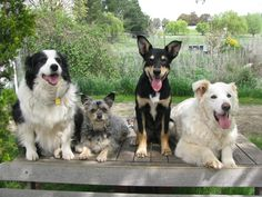Reggie the Kelpie and friends