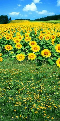 Beautiful Nature Pictures, Beautiful Nature Wallpaper, Amazing Nature, Beautiful Landscapes, Beautiful Flowers, Sunflower Photography, Nature Photography Flowers, Background For Photography, Sunflower Pictures