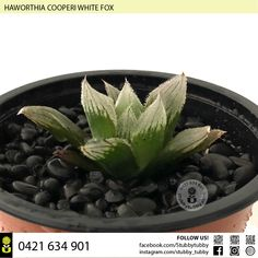 Quality succulents, cacti and houseplants for sale - Adelaide, SA, Australia Succulents For Sale, White Fox, Houseplants, Roots, Cactus, Canning, Indoor House Plants, Home Canning, House Plants