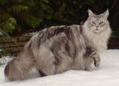 Maine Coon Cat - Click image to find more Animals Pinterest pins