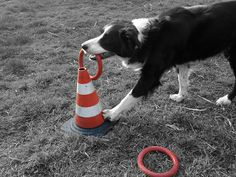 The lady of the rings  (my border collie Hilary ,trick ring in the cone)
