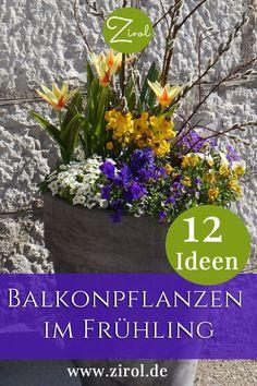 Die Tage werden länger, die Äste der Büsche und Bäume zusehends farbiger. Die warmen Sonnenstrahlen verführen uns die Balkontür zu öffnen, nach draußen zu treten, den Vögeln zu lauschen und den frischen Geruch nach Frühling tief einzuatmen. Hier finden Sie Ideen für Ihre Balkonpflanzen im Frühling Rosen Beet, Plants, Home And Garden, Balcony Plants, Summer Flowers, Plant, Planets