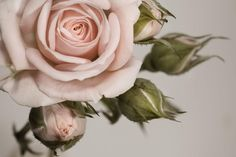 Elegant Pink Rose Wall Mural, custom made to suit your wall size by the UK's No.1 for wall murals. Custom design service and express delivery available.