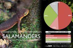 Chart: conservation status of the world's salamanders. #salamander #amphibian