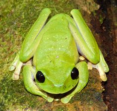 """A new frog species was discovered during an expedition to Papua New Guinea last year, which was just one of the 50 new species found during the expedition. A """"large and spectacular""""—and possibly new—tree frog species of the Nyctimystes genus squatted near a clear mountain river, giving photographers a spectacular shot of the neon green frog."""