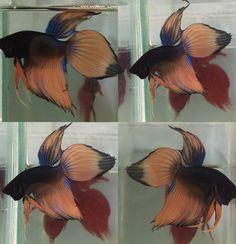 Veiltail Betta Auctions - Thu May 21 2020 Beautiful Fish, Animals Beautiful, Cool Fish Tanks, Betta Fish Types, Fish Breeding, Beta Fish, Siamese Fighting Fish, Fresh Water Tank, Exotic Fish