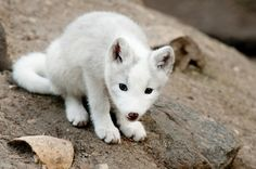 Kris loves baby animals: I would get him a baby snow fox... because I think they are one of the cutest baby animals.