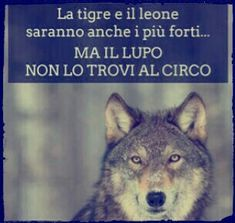 ********The tiger and the lion will also be stronger but the wolf can not find it at the circus Quotes Thoughts, Words Quotes, Italian Quotes, Savage Quotes, She Wolf, Hello Beautiful, My Mood, Good To Know, Animals And Pets