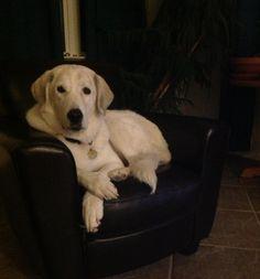 Akbash dog Zorra in her favorite chair.