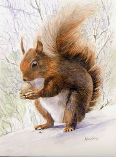 Red Squirrel .A watercolour by Sylvia Twiss Wildlife Paintings, Wildlife Art, Animal Paintings, Watercolour Drawings, Watercolours, Red Squirrel, Homemade Crafts, Squirrels, Simply Beautiful