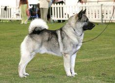 Norwegian Elkhound named Candis