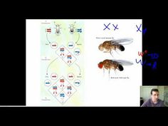 Studying Sex Linkage in Fruit Flies - YouTube