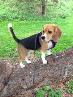 Bertha Beagle | Pawshake
