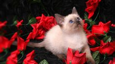 Red Rose 2015 HD Wallpapers On Rose Day | Happy Valentine Day 2015