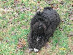 Bubbles is an adoptable Schnauzer, Shih Tzu Dog in Follansbee, WV Bubbles is such a sweet boy and will be 1 year old in Feb.  He is happy and loves to play. ... ...Read more about me on @petfinder.com